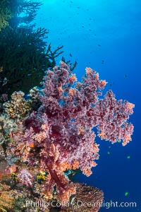 Vibrant colorful soft corals reaching into ocean currents, capturing passing planktonic food, Fiji, Dendronephthya, Vatu I Ra Passage, Bligh Waters, Viti Levu  Island