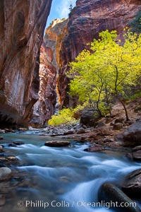 Yellow cottonwood trees in autumn, fall colors in the Virgin River Narrows in Zion National Park. Virgin River Narrows, Zion National Park, Utah, USA, natural history stock photograph, photo id 26091
