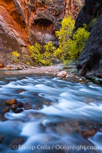 Image 26109, Virgin River narrows and fall colors, cottonwood trees in autumn along the Virgin River with towering sandstone cliffs. Virgin River Narrows, Zion National Park, Utah, USA, Phillip Colla, all rights reserved worldwide. Keywords: autumn, canyon, canyoneering, cottonwood, fall, fall colors, gorge, hike, hiking, national parks, outdoors, outside, rapids, river, sandstone, scene, scenic, stream, tree, usa, utah, virgin river, virgin river narrows, water, zion national park.
