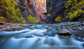 Flowing water and fall cottonwood trees, along the Virgin River in the Zion Narrows in autumn, Virgin River Narrows, Zion National Park, Utah