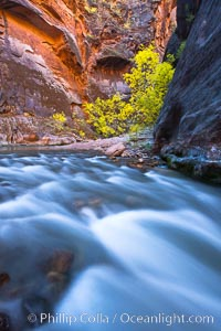 Virgin River narrows and fall colors, cottonwood trees in autumn along the Virgin River with towering sandstone cliffs, Virgin River Narrows, Zion National Park, Utah