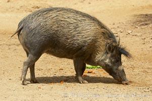 Visayan warty pig, Sus cebifrons