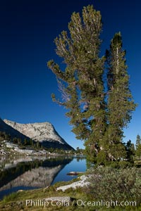 Vogelsang Peak (11500') and tree, reflected in the still morning waters of Fletcher Lake, in Yosemite's gorgeous high country, late summer, Yosemite National Park, California