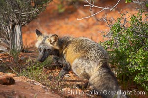Cross fox.  The cross fox is a color variation of the red fox., Vulpes vulpes, natural history stock photograph, photo id 12110