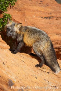Cross fox.  The cross fox is a color variation of the red fox., Vulpes vulpes, natural history stock photograph, photo id 12119