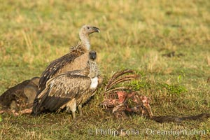 Vultures on a carcass, greater Maasai Mara, Kenya. Maasai Mara National Reserve, Kenya, natural history stock photograph, photo id 29885