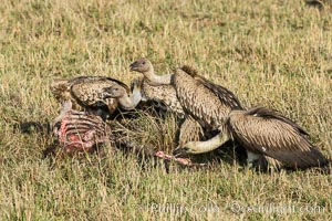Vultures on a carcass, greater Maasai Mara, Kenya. Maasai Mara National Reserve, Kenya, natural history stock photograph, photo id 29890
