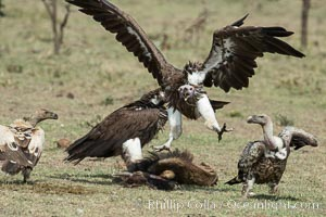 Vultures fighting over a carcass, greater Maasai Mara, Kenya, Olare Orok Conservancy
