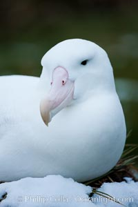 Wandering albatross, on nest and the Prion Island colony.  The wandering albatross has the largest wingspan of any living bird, with the wingspan between, up to 12' from wingtip to wingtip. It can soar on the open ocean for hours at a time, riding the updrafts from individual swells, with a glide ratio of 22 units of distance for every unit of drop. The wandering albatross can live up to 23 years. They hunt at night on the open ocean for cephalopods, small fish, and crustaceans. The survival of the species is at risk due to mortality from long-line fishing gear. South Georgia Island, Diomedea exulans, natural history stock photograph, photo id 24428