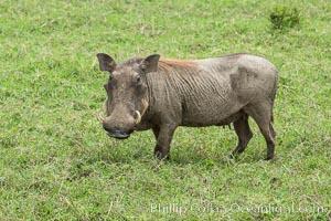 Warthog, Maasai Mara National Reserve, Kenya., Phacochoerus africanus, natural history stock photograph, photo id 29850