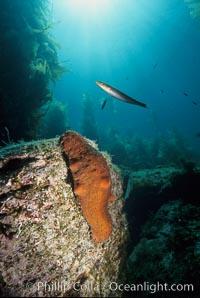 Warty sea cucumber on rocky reef amid kelp forest, Parastichopus parvimensis, Catalina Island