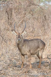 Image 29693, Waterbuck, Meru National Park, Kenya. Meru National Park, Kenya, Kobus ellipsiprymnus, Phillip Colla, all rights reserved worldwide. Keywords: africa, animalia, antelope, artiodactyla, bovidae, chordata, kenya, kobus, kobus ellipsiprymnus, mammal, mammalia, meru national park, natural, nature, outdoors, outside, reduncinae, safari, waterbuck, wild, wildlife.