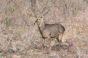 Waterbuck, Meru National Park, Kenya. Meru National Park, Kenya, Kobus ellipsiprymnus, natural history stock photograph, photo id 29695