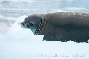 Weddell seal in Antarctica.  The Weddell seal reaches sizes of 3m and 600 kg, and feeds on a variety of fish, krill, squid, cephalopods, crustaceans and penguins. Cierva Cove, Antarctic Peninsula, Antarctica, Leptonychotes weddellii, natural history stock photograph, photo id 25572