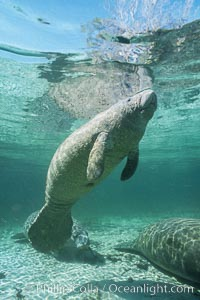 West Indian manatee. Three Sisters Springs, Crystal River, Florida, USA, Trichechus manatus, natural history stock photograph, photo id 02609