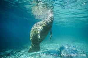 West Indian manatee. Three Sisters Springs, Crystal River, Florida, USA, Trichechus manatus, natural history stock photograph, photo id 02610