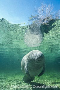 West Indian manatee. Three Sisters Springs, Crystal River, Florida, USA, Trichechus manatus, natural history stock photograph, photo id 02615