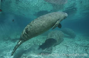 Image 02618, West Indian manatee. Three Sisters Springs, Crystal River, Florida, USA, Trichechus manatus