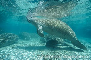 West Indian manatee at Three Sisters Springs, Florida, Trichechus manatus, Crystal River