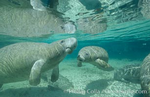 West Indian manatees at Three Sisters Springs, Florida, Trichechus manatus, Crystal River
