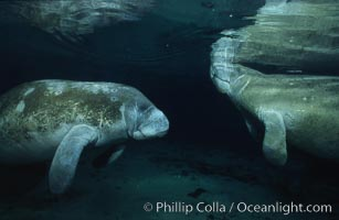 West Indian manatee. Three Sisters Springs, Crystal River, Florida, USA, Trichechus manatus, natural history stock photograph, photo id 02625