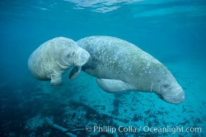 Two Florida manatees, or West Indian Manatees, swim together in the clear waters of Crystal River.  Florida manatees are endangered, Trichechus manatus, Three Sisters Springs