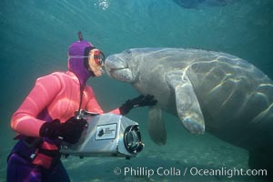 West Indian manatee. Three Sisters Springs, Crystal River, Florida, USA, Trichechus manatus, natural history stock photograph, photo id 02633