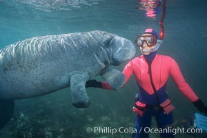 Snorkeler and manatee at Three Sisters Springs, Florida, Trichechus manatus, Crystal River