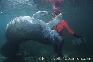 West Indian manatee. Three Sisters Springs, Crystal River, Florida, USA, Trichechus manatus, natural history stock photograph, photo id 02638