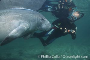 West Indian manatee, Trichechus manatus, Three Sisters Springs, copyright Natural History Photography, www.oceanlight.com, image #02642, all rights reserved worldwide.