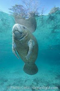 A Florida manatee, or West Indian Manatee, hovers in the clear waters of Crystal River, Trichechus manatus, Three Sisters Springs