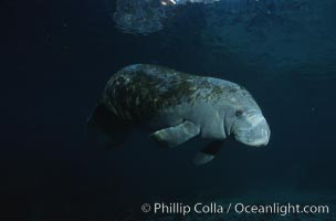 West Indian manatee. Three Sisters Springs, Crystal River, Florida, USA, Trichechus manatus, natural history stock photograph, photo id 02705