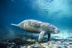 West Indian manatee. Three Sisters Springs, Crystal River, Florida, USA, Trichechus manatus, natural history stock photograph, photo id 02707