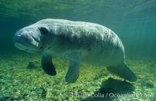 Image 02715, West Indian manatee. Three Sisters Springs, Crystal River, Florida, USA, Trichechus manatus
