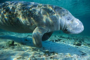 West Indian manatee. Three Sisters Springs, Crystal River, Florida, USA, Trichechus manatus, natural history stock photograph, photo id 02717