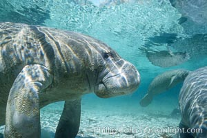 West Indian manatee. Three Sisters Springs, Crystal River, Florida, USA, Trichechus manatus, natural history stock photograph, photo id 02719