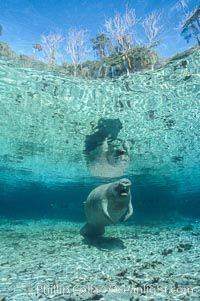 West Indian manatee. Three Sisters Springs, Crystal River, Florida, USA, Trichechus manatus, natural history stock photograph, photo id 02723