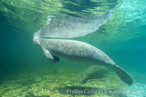 West Indian manatee. Three Sisters Springs, Crystal River, Florida, USA, Trichechus manatus, natural history stock photograph, photo id 02727