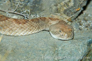 Western diamondback rattlesnake., Crotalus atrox, natural history stock photograph, photo id 12600