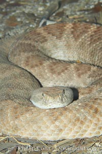 Image 12811, Western diamondback rattlesnake., Crotalus atrox, Phillip Colla, all rights reserved worldwide.   Keywords: animal:creature:crotalus atrox:nature:rattlesnake:reptile:snake:western diamondback rattlesnake:wildlife:zoo.