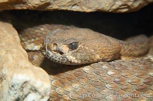 Western diamondback rattlesnake., Crotalus atrox, natural history stock photograph, photo id 14692