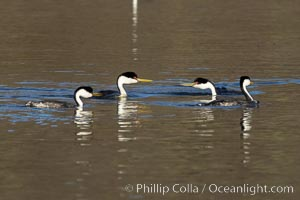 Western Grebes Ratchet Pointing in preparation for rushing, a courtship ceremony, Lake Hodges, San Diego