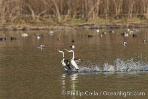 Western Grebes Rushing on Lake Hodges, San Diego, California