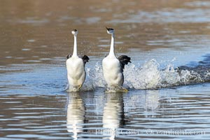 Western Grebes Rushing on Lake Hodges, Aechmophorus occidentalis, San Diego, California