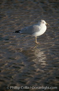 Western gull, Larus occidentalis, Del Mar, California