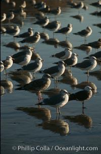 Western and Heermanns gulls. Del Mar, California, USA, Larus occidentalis, Larus heermanni, natural history stock photograph, photo id 05747