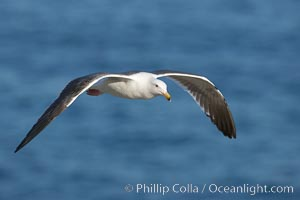 Western gull, flying, Larus occidentalis, La Jolla, California