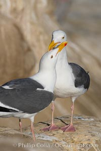 Western gull, courtship display, Larus occidentalis, La Jolla, California