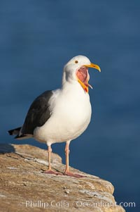 Image 15563, Western gull, open mouth. La Jolla, California, USA, Larus occidentalis