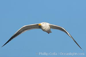 Western gull, flying. La Jolla, California, USA, Larus occidentalis, natural history stock photograph, photo id 15564